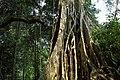 Khao Yai, Thailand, Giant tree roots in the jungle.jpg