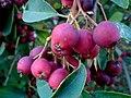 Kiść owoców rajskiej jabłoni - panoramio.jpg