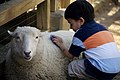 Kid petting sheep, Zoo Atlanta.jpg
