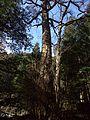 "Kifune-jinja Shintô Shrine - Sacred tree ""Cercidiphyllum japonicum"".jpg"