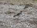 Killdeer (6438341811).jpg