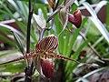 Kinabalu Park, Ranau, Sabah, Malaysia - panoramio (25).jpg