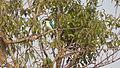 Kingfisher in Sundarbans 02.JPG
