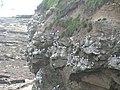 Kittiwakes nesting on a cliff, North Sunderland point - geograph.org.uk - 189137.jpg