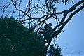 Koala (Phascolarctos cinereus) (9994356646).jpg