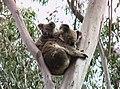 Koalas Tamborine Mountain (14362343252).jpg