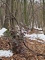 Korina 2013-03-05 Mahonia aquifolium 3.jpg