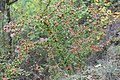 Korina 2016-10-15 Cotoneaster divaricatus 6.jpg