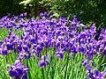Kosaciec syberyjski. (Iris sibirica L.) 02.jpg