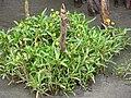 Krähenfuß-Laugenblume (Cotula coronopifolia), Kehdinger Watt IMG 1486.jpg