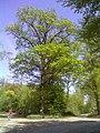 Krugeiche - geo.hlipp.de - 24710.jpg
