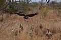 Krugerův park - dravci - panoramio.jpg