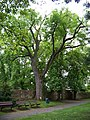 Kunratický zámecký park, památný strom.jpg