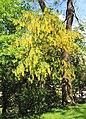 Laburnum alpinum Prague 2014 1.jpg