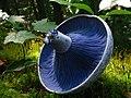 Lactarius indigo 48568.jpg