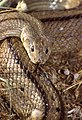 Ladder Snake (Rhinechis scalaris) (35986082850).jpg