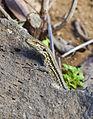 Lagarto tizón (Gallotia galloti), Icod de los Vinos, Tenerife, España, 2012-12-13, DD 07.jpg