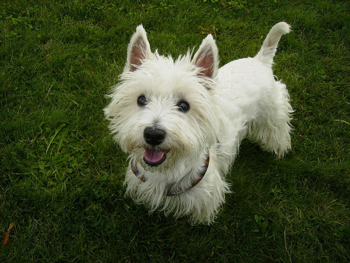 West Highland White Terrier Wikipedia