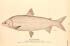 Lake whitefish engraving.jpg