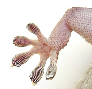 Lamella (surface anatomy) - Lamellae on a gecko's foot.