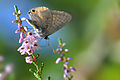 Lampides boeticus - Lampides - Long tailed blue 01.jpg