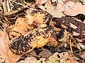 Lantaarnzwam (Omphalotus illudens) tussen afgevallen blad in verval 01.jpg
