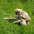 Lar Gibbon at Chester Zoo 1.jpg