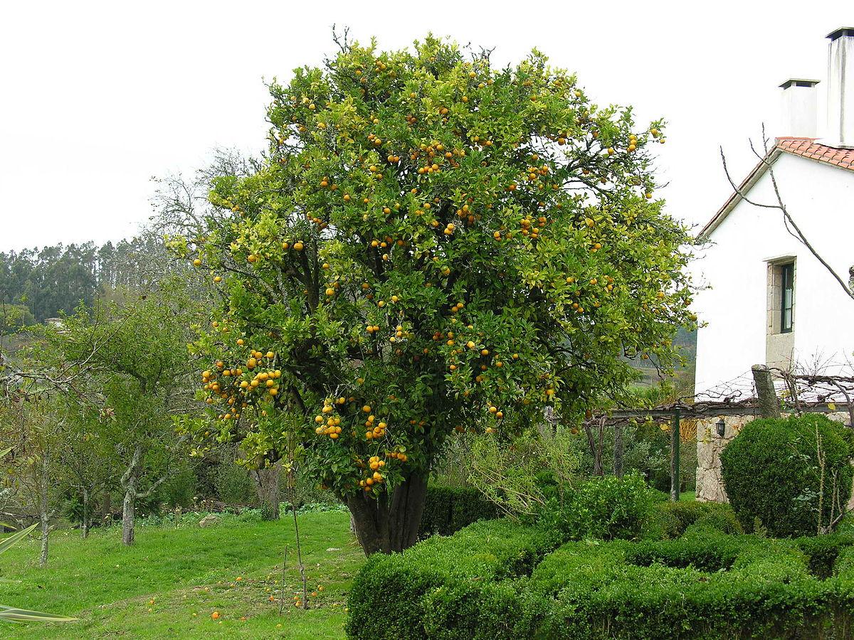 Apels ns wiktionary for Arboles frutales para jardin