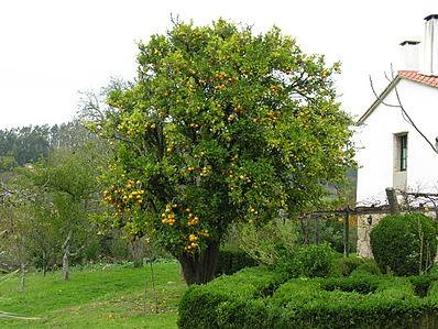 Плодоносящее дерево  Испания
