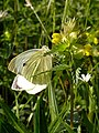 Large White Butterfly on Hay Rattle - geograph.org.uk - 178418.jpg
