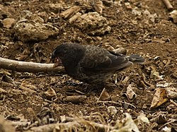 Large ground finch (4229040342).jpg