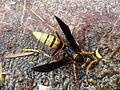 Large paper wasp drinking water - Flickr - treegrow.jpg