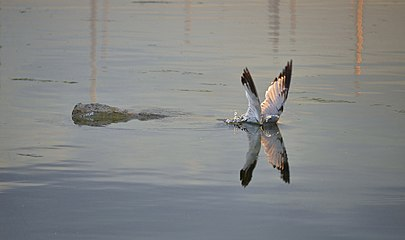 Larus delawarensis diving2.jpg