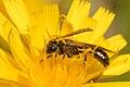 Lasioglossum.morio.-.lindsey.jpg