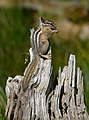 Least chipmunk (Tamias minimus), Coulter Bay, Grand Teton NP (19625740491).jpg