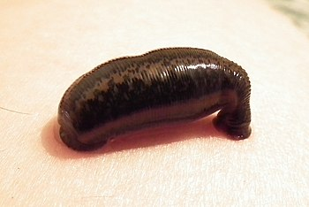 English: A leech (Hirudo medicinalis) beginnin...
