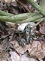 Leeuwenhorstbos - april 2018 - Bruine kikker (Rana temporaria).jpg