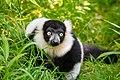 Lemur (26245176189).jpg