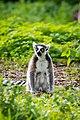 Lemur (37140486342).jpg