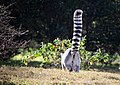 Lemur catta -San Francisco Zoo, California, USA-8a.jpg
