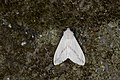 Lemyra rhodophilodes (26370878217).jpg