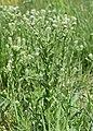 Lepidium campestre kz18.jpg