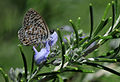 Leptotes pirithous - Common Zebra Blue - Mavi Zebra 02.jpg