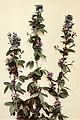 Lespedeza frutescens WFNY-114.jpg