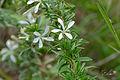 Lesser Honeysuckle Tree (Turraea obtusifolia) (16583310146).jpg
