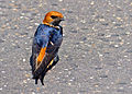 Lesser Striped Swallow (Hirundo abyssinica) (11452700955).jpg