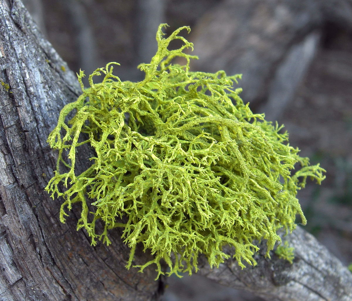 lichen and hackberry tree symbiotic relationship