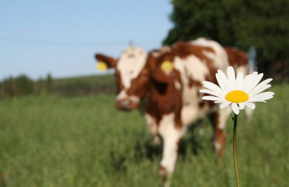Leucanthemum vulgare and a cow in Hokkasenaho, Kyyjarvi, Finland