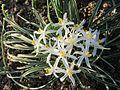 Leucocrinum montanum 2.jpg