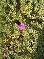 Leucophyllum frutescens by Prahlad balaji.jpg